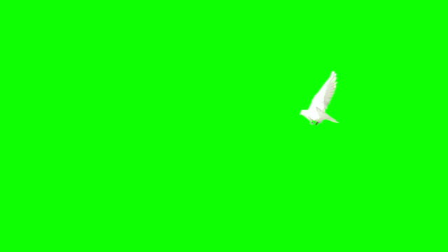dove flying on chroma key (super slow motion) - silhouette stock videos & royalty-free footage