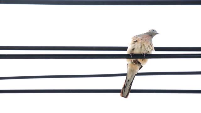 vídeos y material grabado en eventos de stock de paloma en líneas de alta tensión y toma - boca de animal