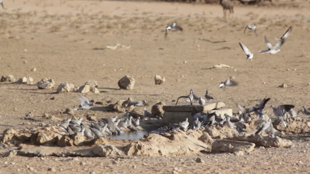 doves drinking at watering hole/kgalagadi transfrontier park/ south africa - zoology stock videos & royalty-free footage