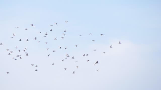 stockvideo's en b-roll-footage met duiven kudde - tortelduif