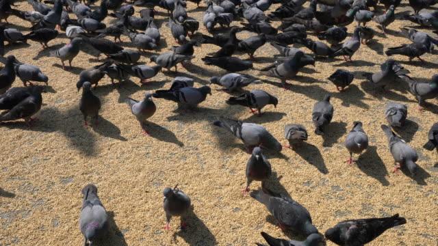 vídeos de stock e filmes b-roll de doves in india - bando de pássaros