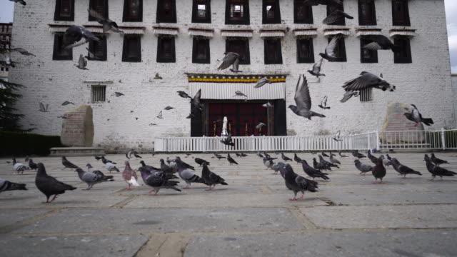 doves on potala palace square - 小さめのハト点の映像素材/bロール