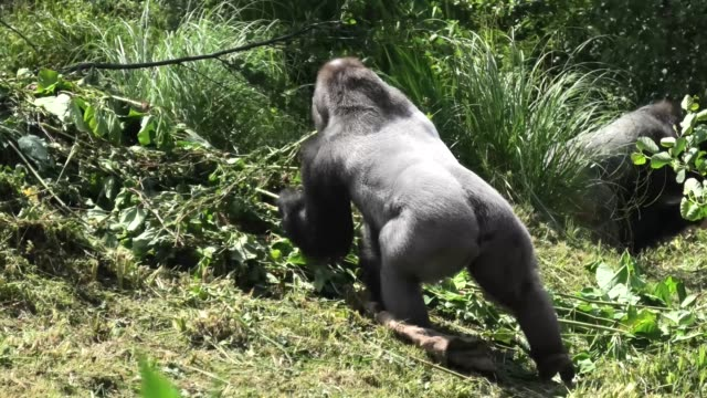dowe , the western lowland silverback gorilla from the paignton zoo in england, loves to move around his freshly cut habitat with his blanket and... - cut video transition stock videos & royalty-free footage