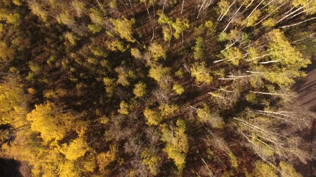 down backwords over aspen grove aerial, drone, 4k, rocky mountains, amazing, autumn, colorful, colors, fall, fiery, forest, green, landscape, leaves, orange, red, trees, aspen, yellow, colorado, kebler pass, mountain, raw.mov - aspen tree stock videos & royalty-free footage