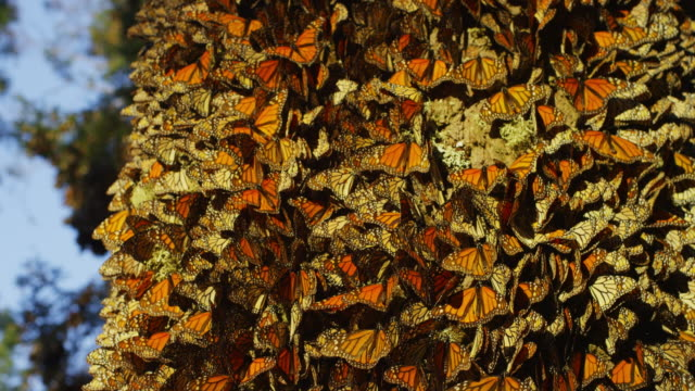 cu crane down tree trunk with massed monarch butterflies - large group of animals stock videos & royalty-free footage