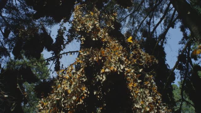 crane down tree with massed monarch butterflies on branches - morelia video stock e b–roll