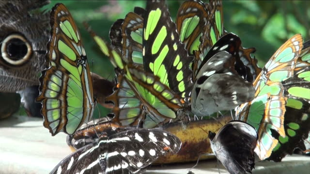 a dozen of butterflies eating from a banana - gruppo medio di animali video stock e b–roll