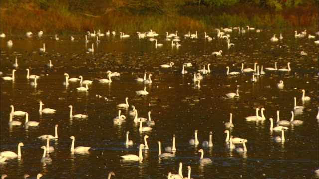 a dozen tundra swans (cygnus columbianus) in flight over oyama shimo-ike pond and numerous swans at rest on the pond - water bird stock videos & royalty-free footage