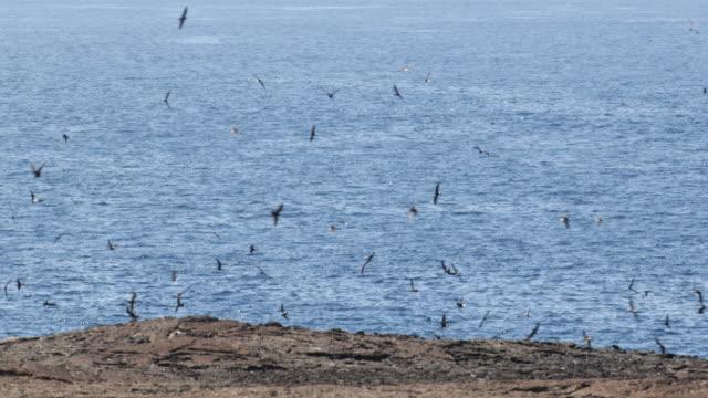 stockvideo's en b-roll-footage met dozens of birds flying above the rocky coast of isla genovesa, galã¡pagos, ecuador - galapagoseilanden