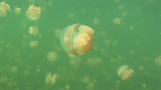 stockvideo's en b-roll-footage met dozens of jellyfish swim in the green water of jellyfish lake. available in hd. - ongewerveld dier