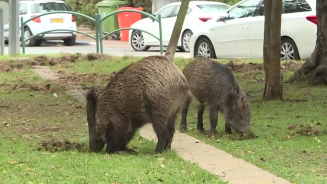 stockvideo's en b-roll-footage met dozens of wild pigs have taken up residence in northern israel's coastal city of haifa since the city banned culling - coastal feature