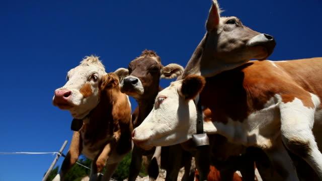 Dozing Cows Medium Shot