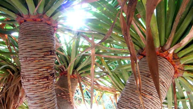 dracaena draco, the canary islands dragon tree or drago - dragon tree stock videos & royalty-free footage