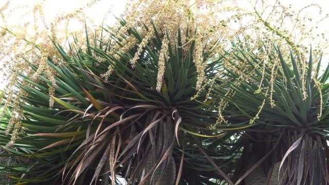 dracaena flowers - dragon tree stock videos & royalty-free footage