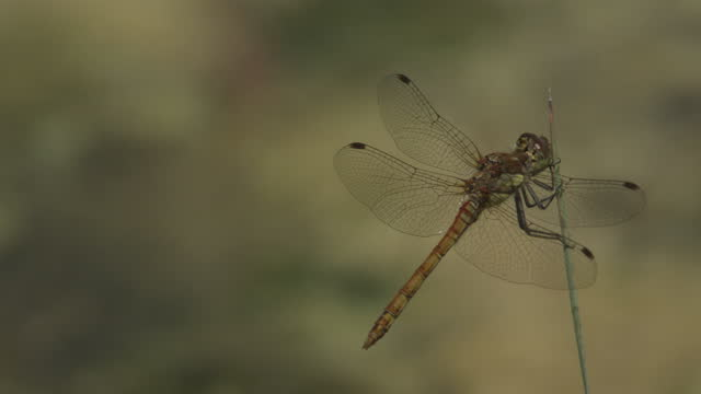 dragon flies mating. filmed in 2014 - rack focus stock videos & royalty-free footage