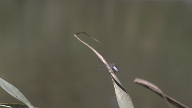 dragon fly - dragonfly stock videos & royalty-free footage