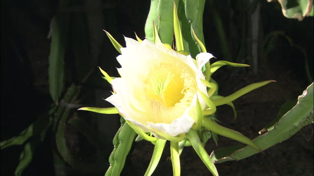 dragon fruit flower opens - blossom stock videos & royalty-free footage