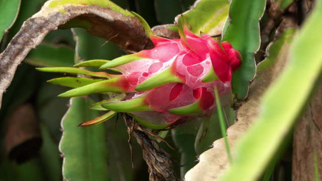 Dragon Fruit On Cactus Plant