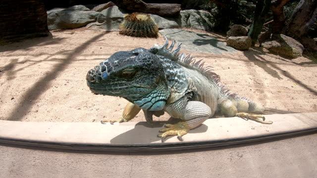 vidéos et rushes de lézard de dragon sur des roches - claw
