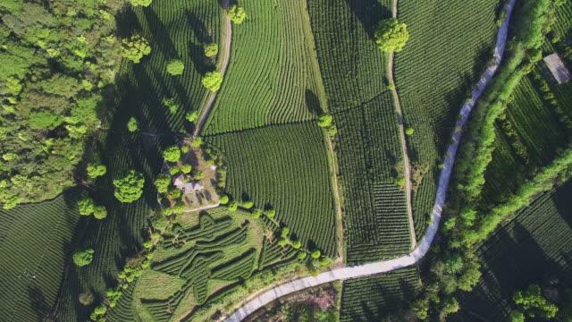 dragon wall tea tree on mountain in hangzhou - dragon tree stock videos & royalty-free footage