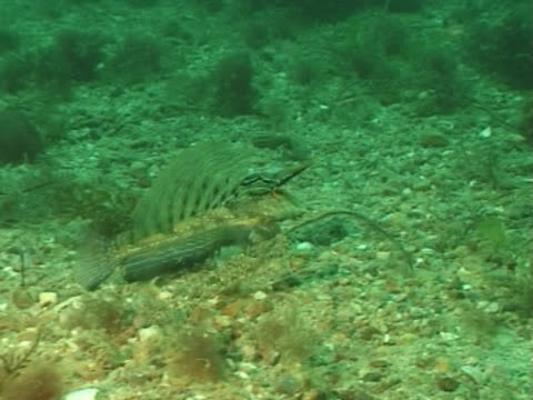 vídeos de stock e filmes b-roll de dragonet male displaying to female. channel island, uk - ilhas do canal da mancha