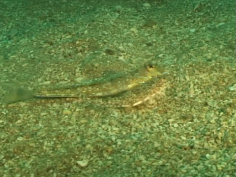 vídeos de stock e filmes b-roll de ws dragonet mating. channel island, uk - ilhas do canal da mancha