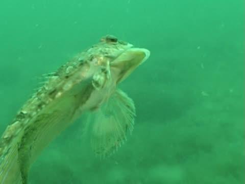 ws dragonet mating. channel island, uk - wirbeltier stock-videos und b-roll-filmmaterial