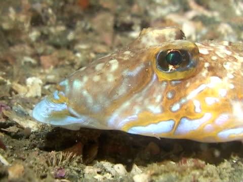 dragonets fish on sea bed - 少於10秒 個影片檔及 b 捲影像