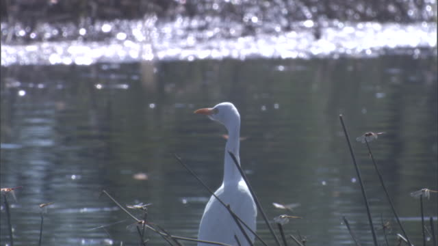 dragonflies buzz around a great white egret in the banks of a river. available in hd. - great egret stock videos & royalty-free footage