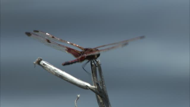 dragonflies cling to sticks. - gliedmaßen körperteile stock-videos und b-roll-filmmaterial
