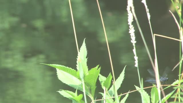 dragonflies - hd 30f - invertebrate stock videos & royalty-free footage