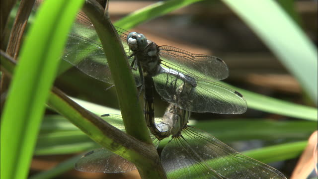 dragonflies mate among leaves. - shimane prefecture stock videos & royalty-free footage