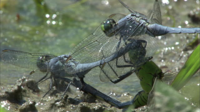 dragonflies mate on the algae-covered surface of a river. - 性と生殖点の映像素材/bロール