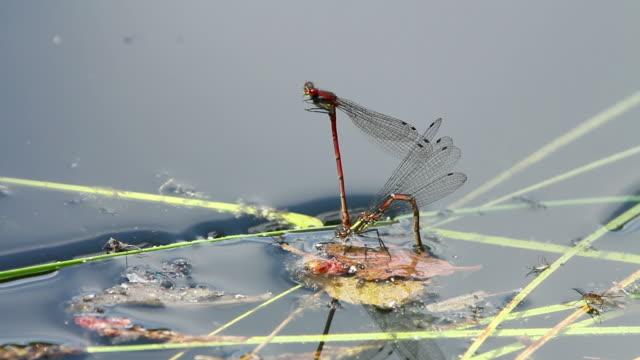 Libellen (Anisoptera) auf dem Wasser