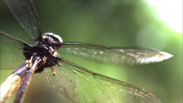 a dragonfly beats its wings in slow motion. - dragonfly stock videos & royalty-free footage