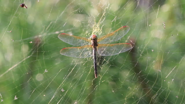 dragonfly caught in spider web - tier in gefangenschaft stock-videos und b-roll-filmmaterial