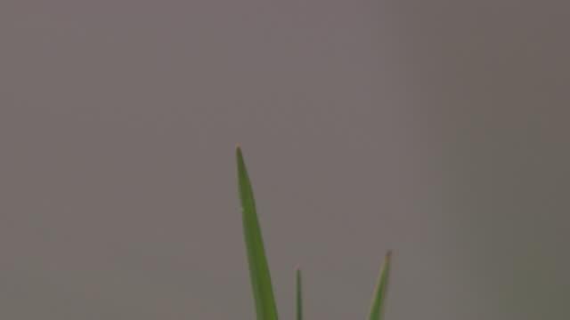 a dragonfly clings to a blade of grass then flies away. - gliedmaßen körperteile stock-videos und b-roll-filmmaterial