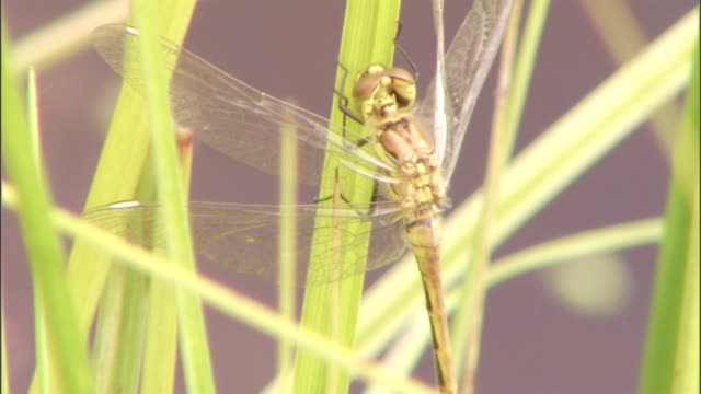 a dragonfly clings to a blade of grass. - gliedmaßen körperteile stock-videos und b-roll-filmmaterial