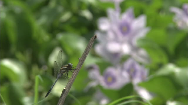 a dragonfly clings to a branch near water hyacinth flowers in tochigi, japan. - hyacinth stock videos & royalty-free footage