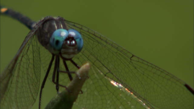 a dragonfly clings to a twig, then flies away. - fragility stock videos & royalty-free footage
