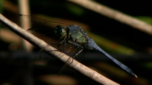 a dragonfly clings to a twig. - gliedmaßen körperteile stock-videos und b-roll-filmmaterial