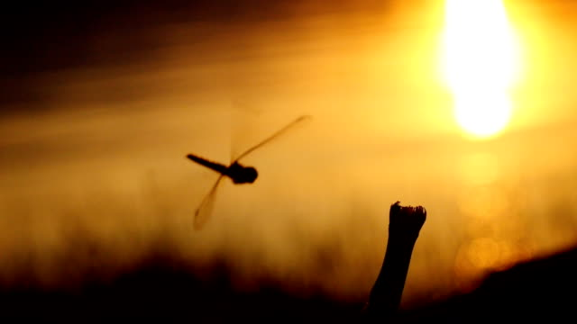 dragonfly closeup. dragonfly landing on a twig,slow motion - dragonfly stock videos & royalty-free footage