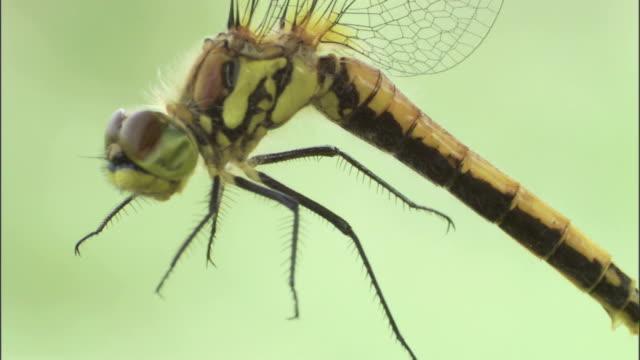 a dragonfly dangles in the air. - gliedmaßen körperteile stock-videos und b-roll-filmmaterial