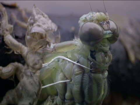 dragonfly emerges from its larval skin - 出現点の映像素材/bロール