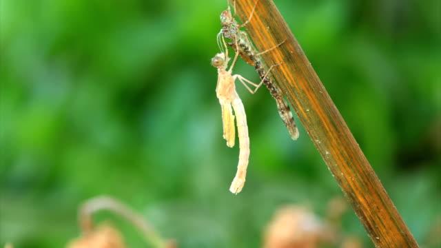 vídeos de stock e filmes b-roll de libélula aparecimento de larva - mudar de forma