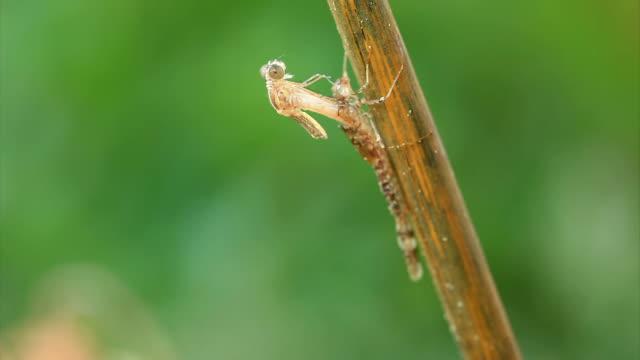 vídeos de stock, filmes e b-roll de libélula saindo de larva de caso - larva