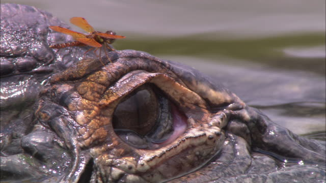 a dragonfly flies away from an alligator's eye in a rippling florida swamp. - alligatore video stock e b–roll
