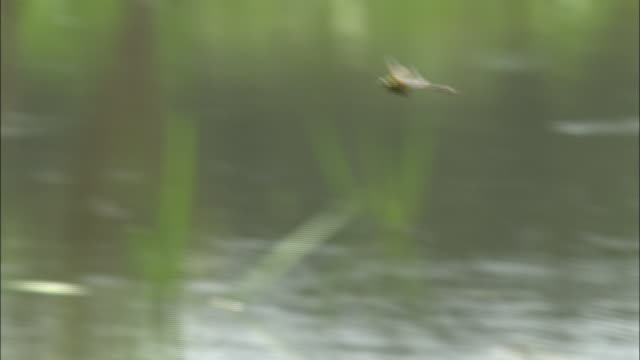 a dragonfly flies over a river. - shimane prefecture stock videos & royalty-free footage