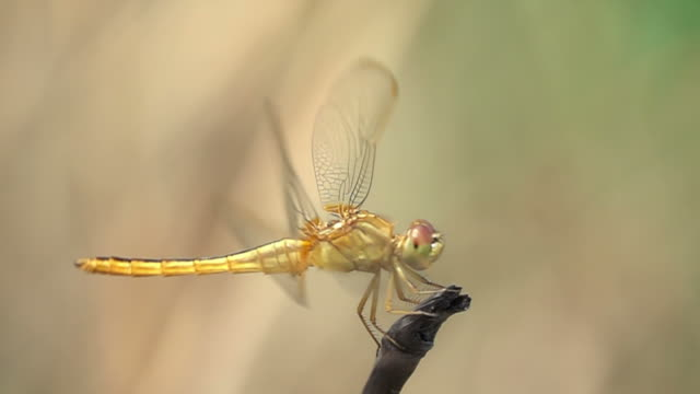 dragonfly flying slow-motion - dragonfly stock videos & royalty-free footage