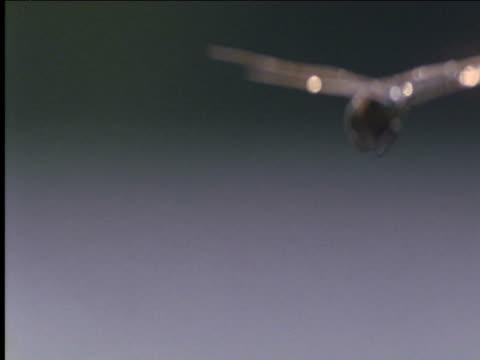stockvideo's en b-roll-footage met dragonfly hovers hungary - lichaamsdeel van dieren